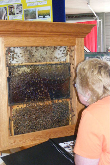 A woman looks at observation hive of honey bees.