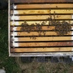 Preventative treatment for American foulbrood – just applied.