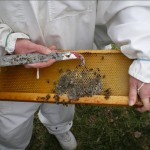 Removing mould from frame of bees that starved in the winter.