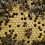 Nice healthy bees with capped brood!