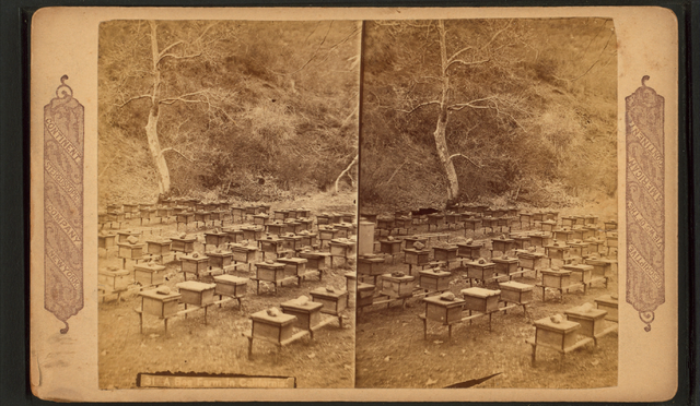 640px-A_bee_farm_in_California,_from_Robert_N._Dennis_collection_of_stereoscopic_views